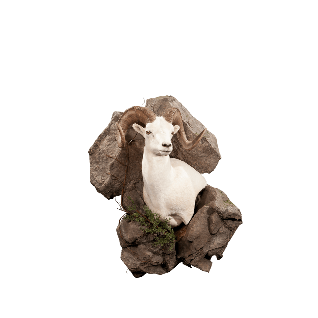 Sheep shoulder mount in rock