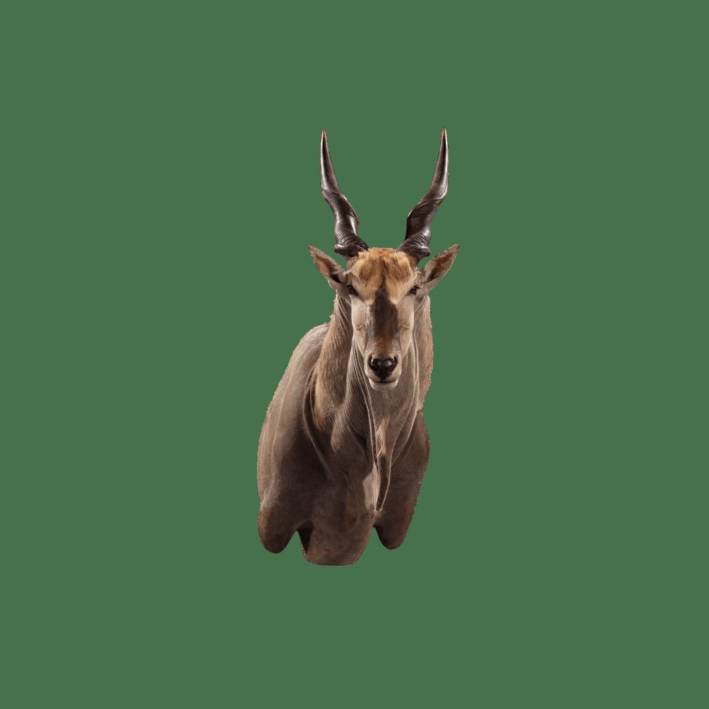 eland shoulder mount