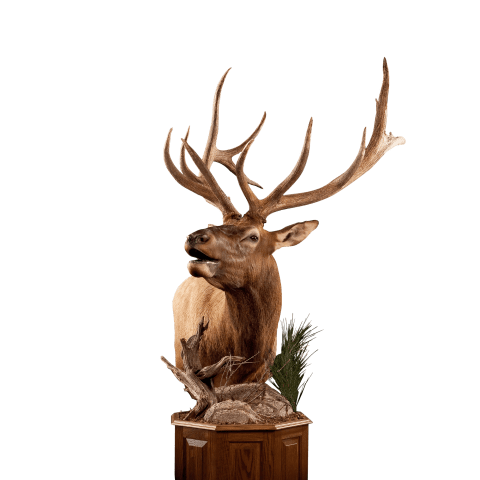 Cool elk mount pose