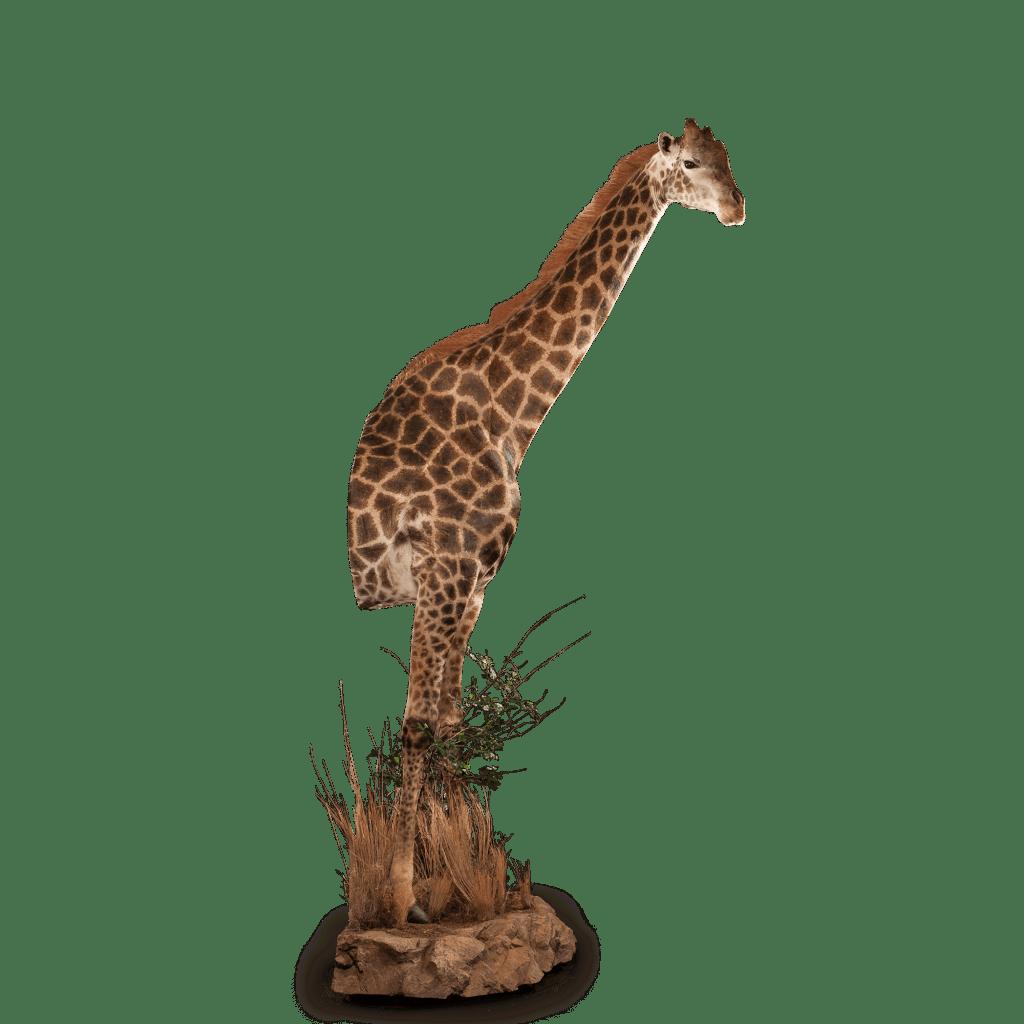 half size giraffe mount