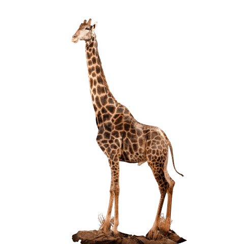 full size giraffe mount