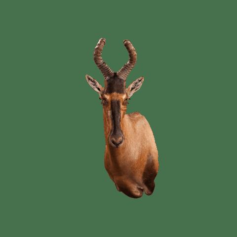 hartebeest shoulder mount