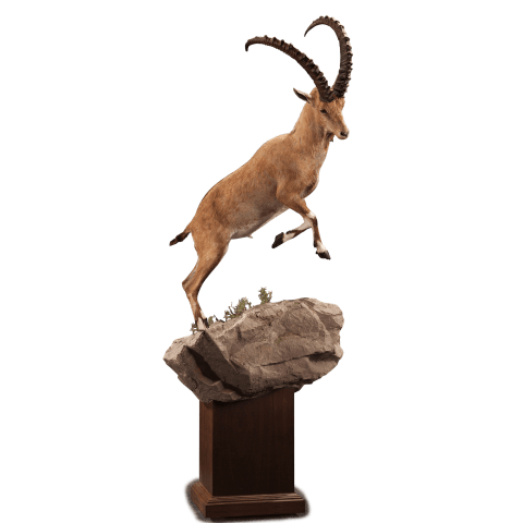 life size jumping ibex taxidermy pedestal