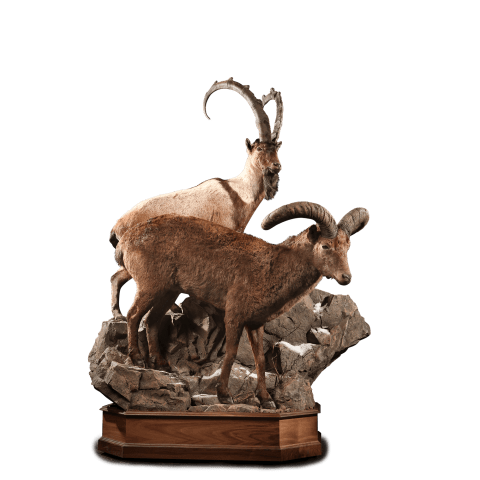 two ibex taxidermy mount