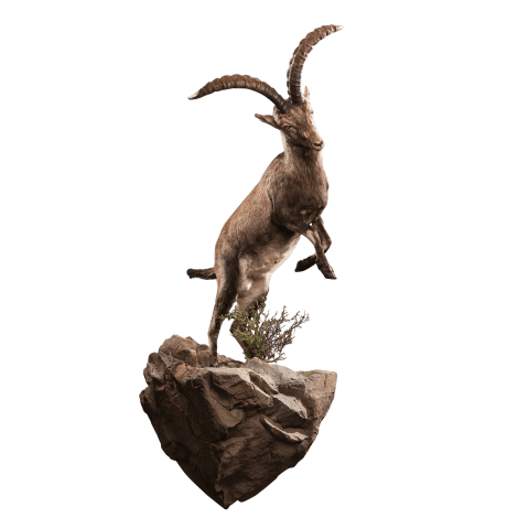 jumping ibex taxidermy