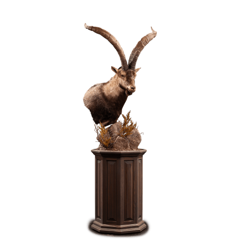 ibex pedestal mount taxidermy