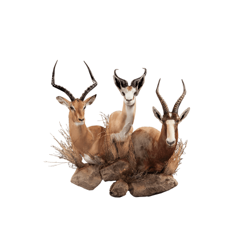 impala blesbok and springbok taxidermy