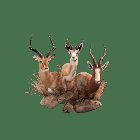 impala blesbok and springbok taxidermy