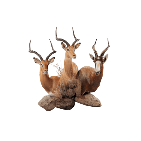 horned african animal taxidermy