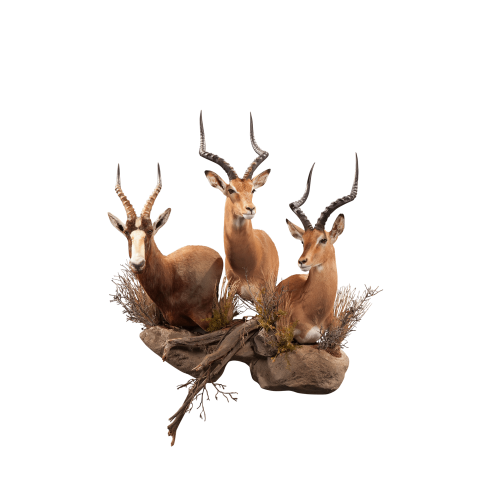african animal taxidermy