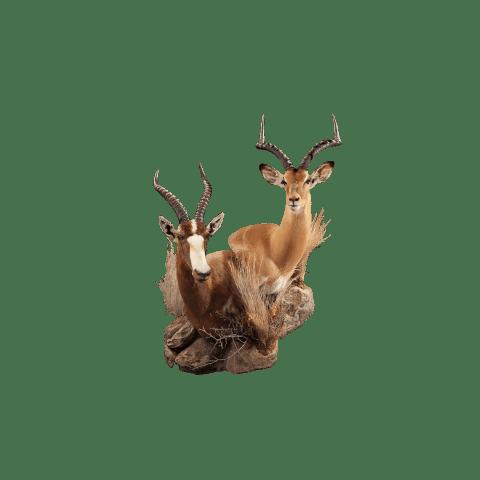 impala and blesbok mount