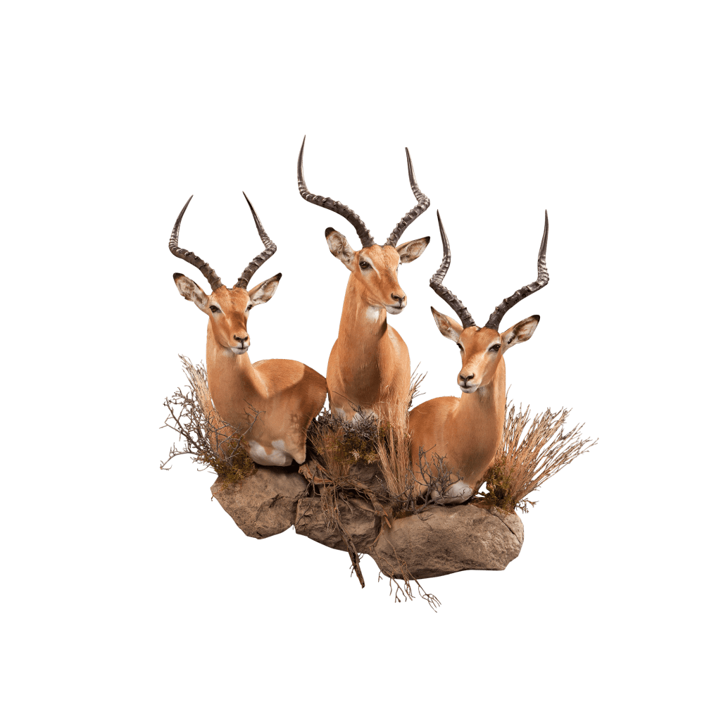 three impalas taxidermy