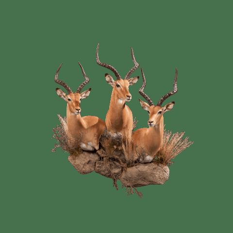 three impalas taxidermy