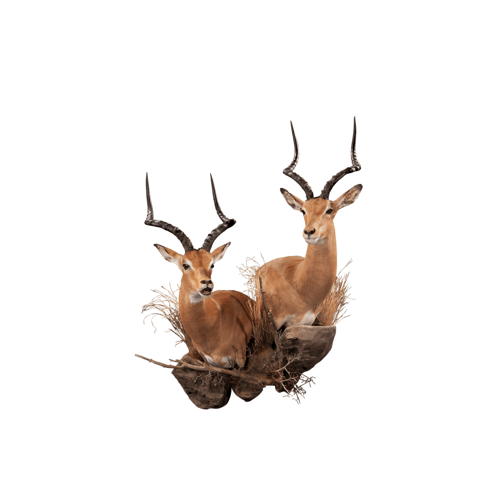 two impalas pedestal taxidermy