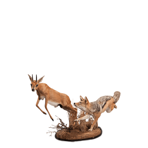 jackal chasing steinbok taxidermy