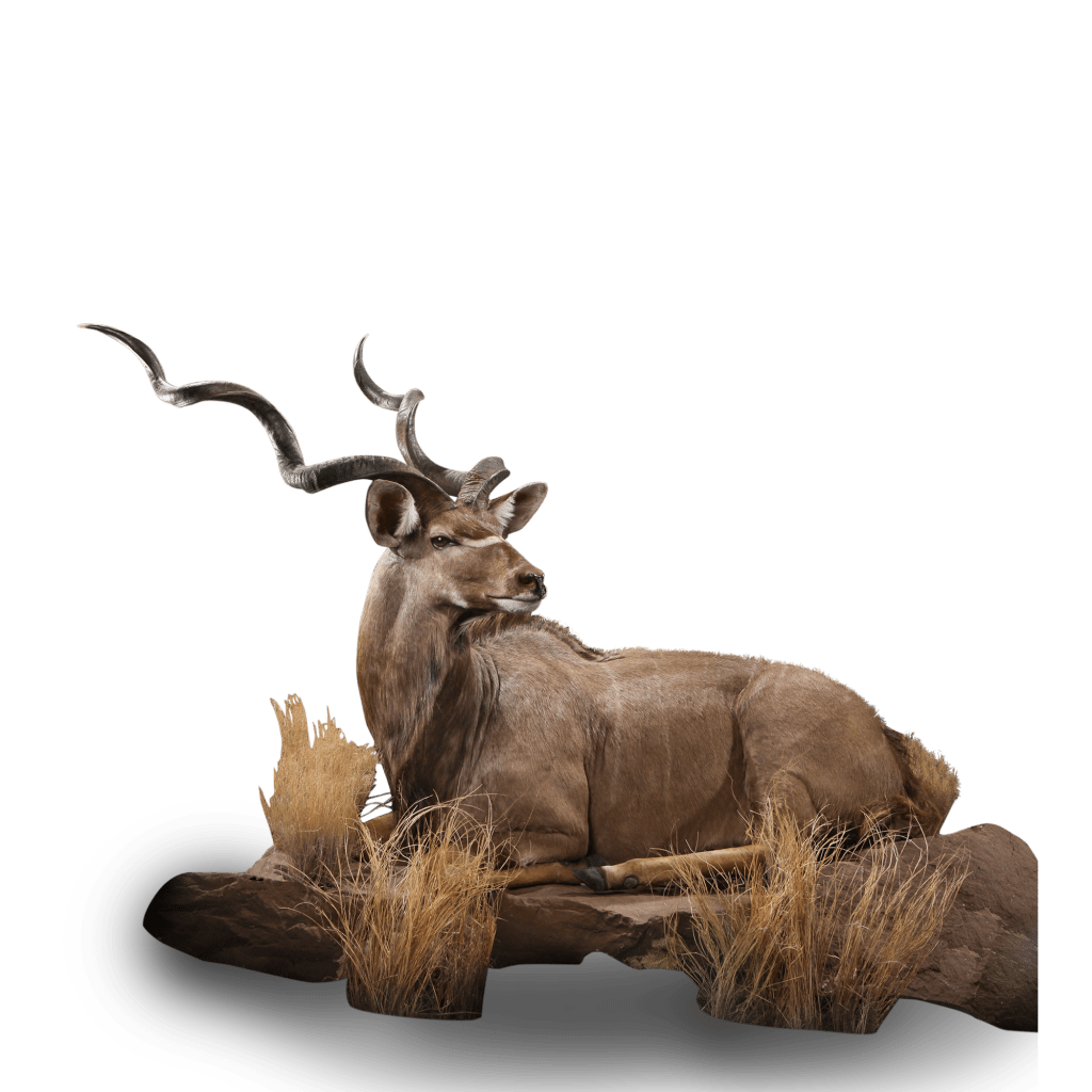 lounging kudu taxidermy