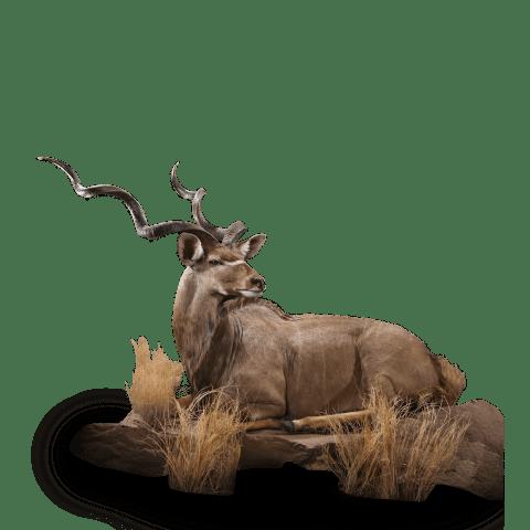 lounging kudu taxidermy