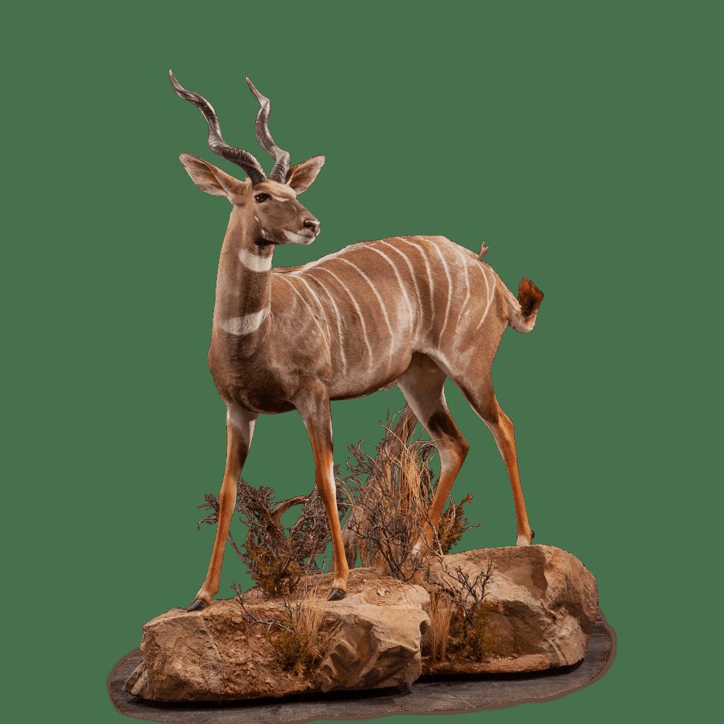 life size kudu taxidermy