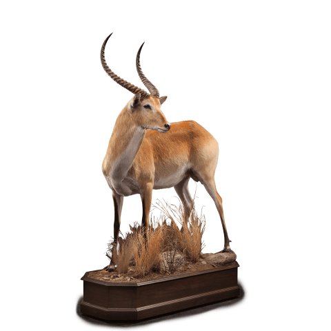 life size lechwe taxidermy
