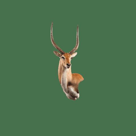 lechwe wall mount
