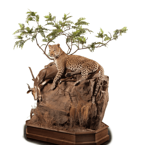 leopard with a kill on rocks pedestal