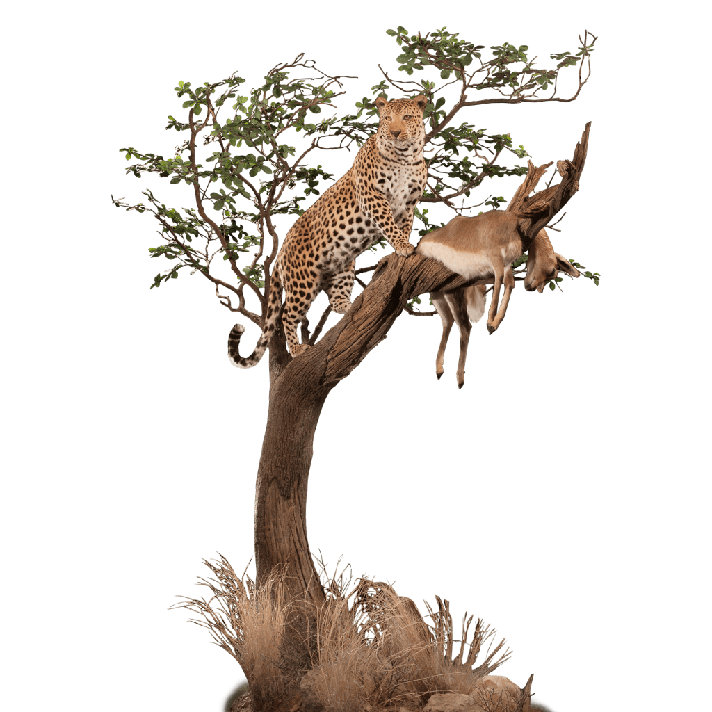 leopard with a kill in a tree mount pose