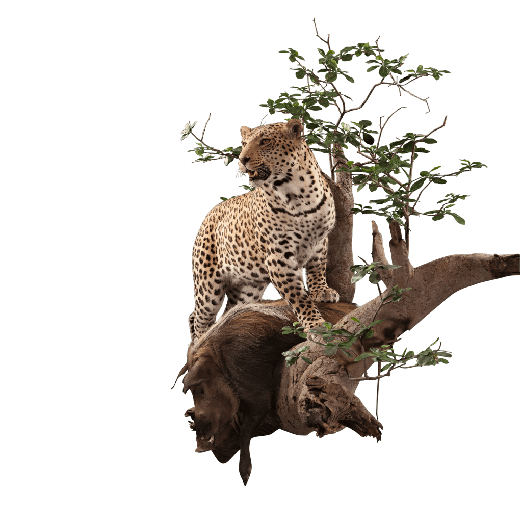 hunting leopard life size taxidermy
