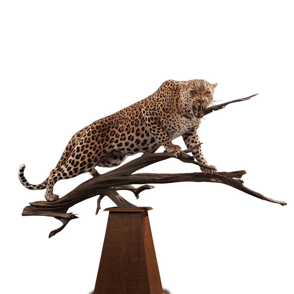 growling leopard taxidermy