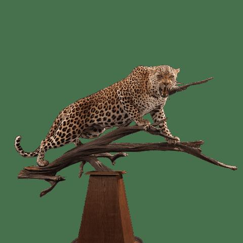 growling leopard taxidermy