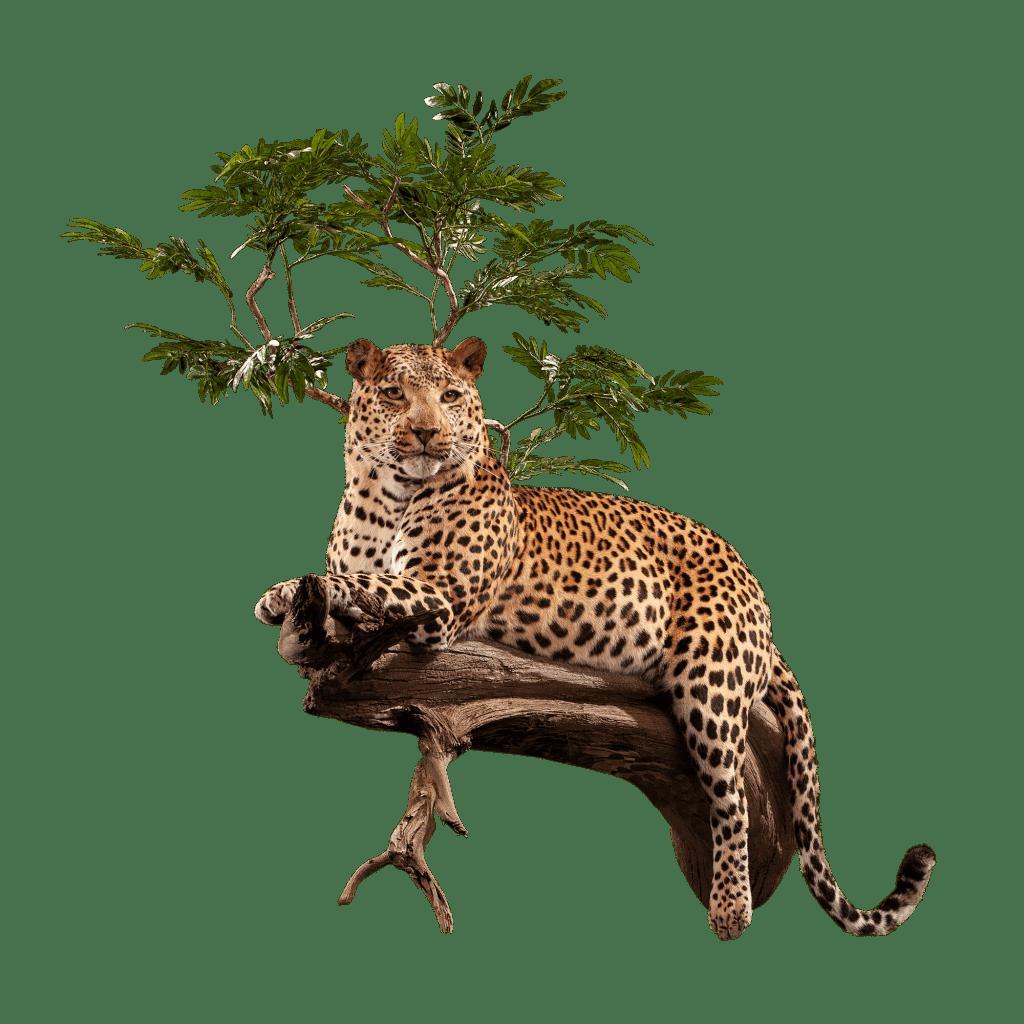 leopard in tree pose