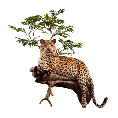 leopard in tree pose