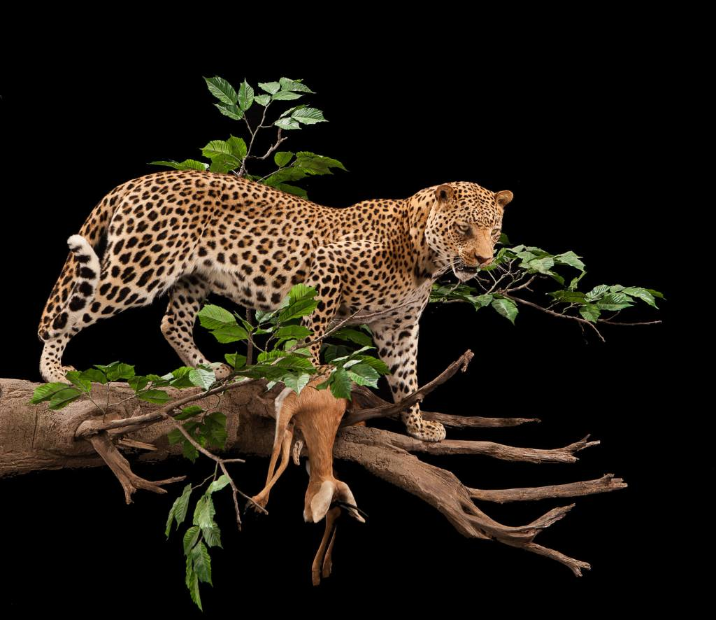 Leopard taxidermy side view
