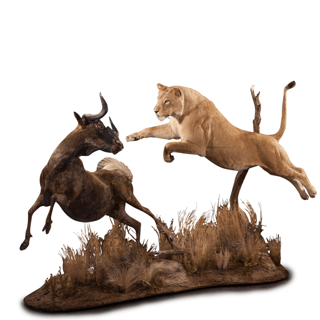 lion jumps for wildebeest taxidermy scene