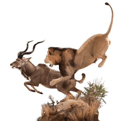 lion hunting kudu taxidermy