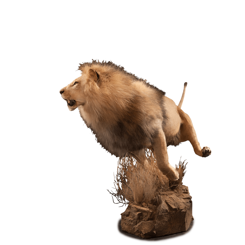 running lion on rock mount