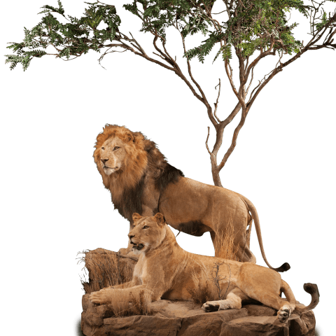two lions taxidermy pose