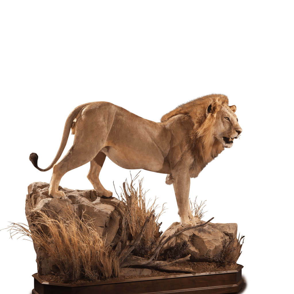 life size lion on rock mount