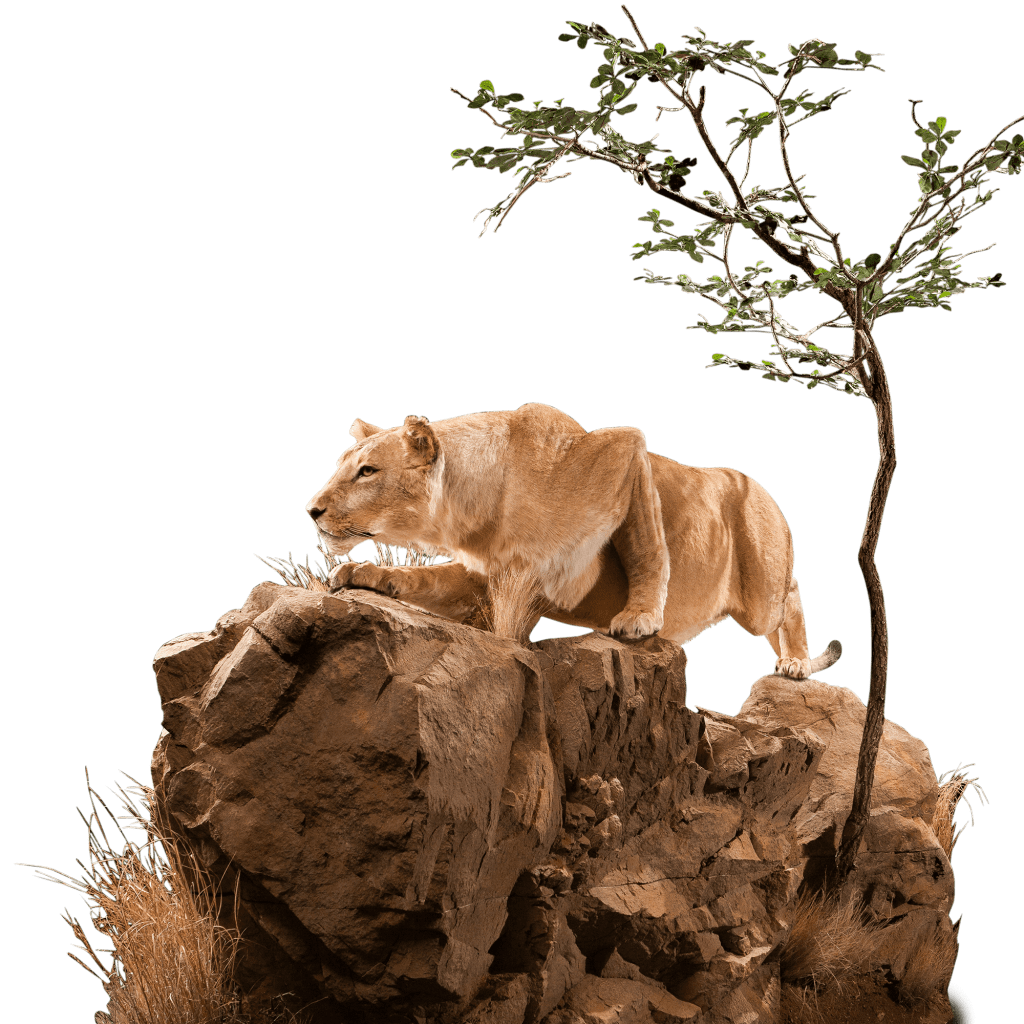 lioness prowling on rocks pose