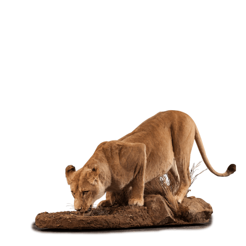 lion drinking taxidermy pose