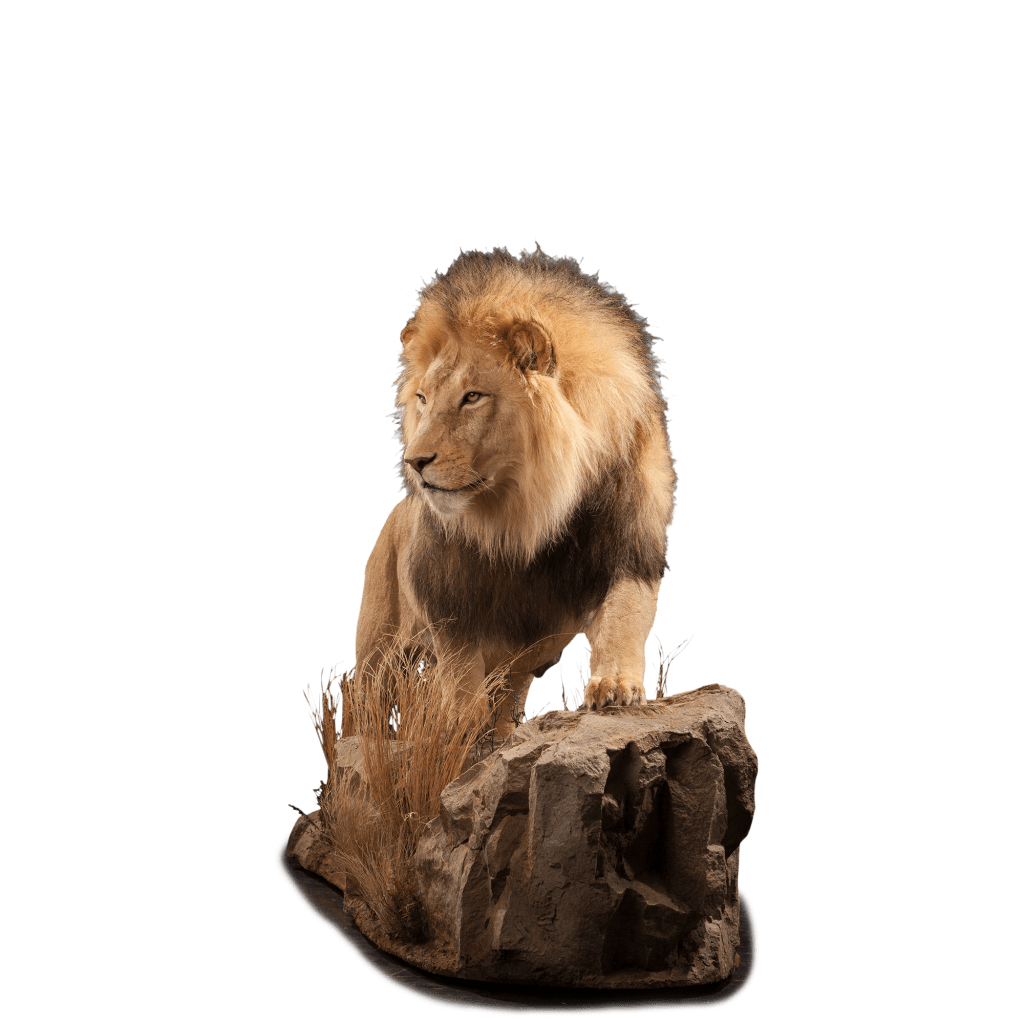 life size lion mount