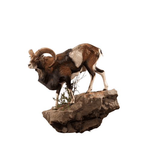 mouflon life size taxidermy