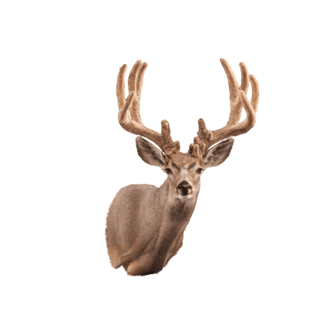 Mule deer shoulder mount right
