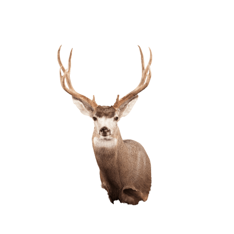 Mule deer shoulder mount