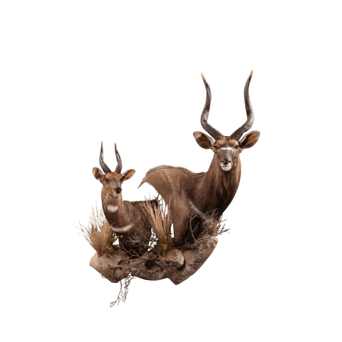 two nyala shoulder mounts