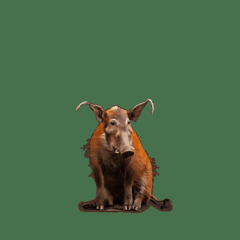 red river hog taxidermy