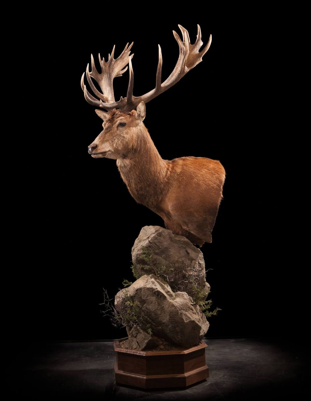 Red Stag Deer taxidermy side view