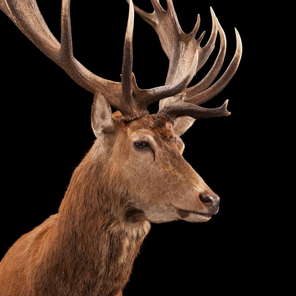 Red Stag Deer taxidermy