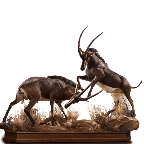 two fighting sables life size taxidermy