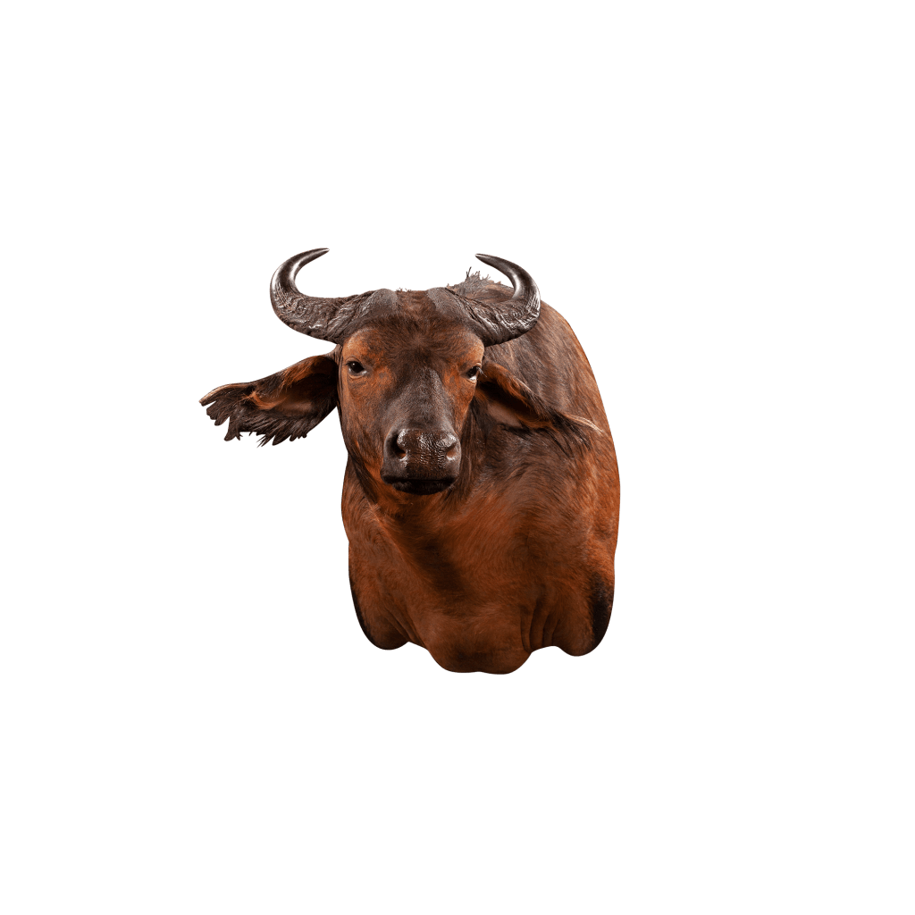 savannah buffalo taxidermy