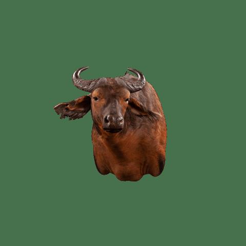 savannah buffalo taxidermy